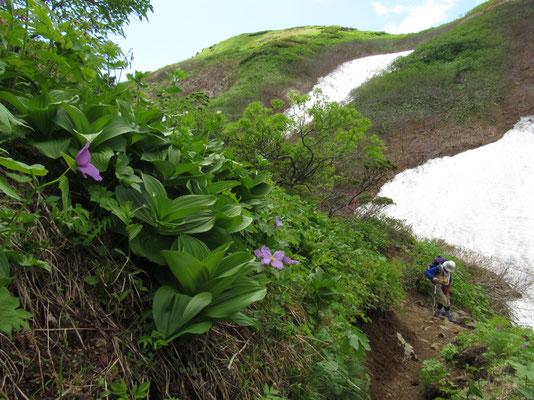 残雪の沢に降り立つところに咲くシラネアオイ