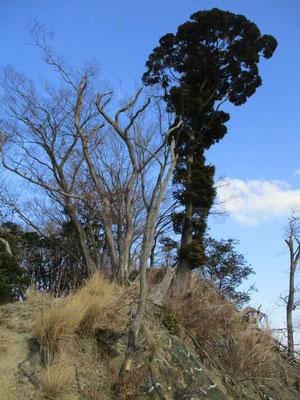 発句石は砕石で削り取られる稜線上から現在の位置に移動されましたが、その場所も大山颪の強風とむき出しの崖への風雨にさらされ残っている木も風前の灯状態