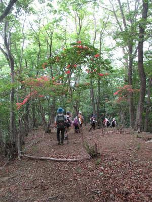 下山の高取山北尾根は気分のいい尾根ですが、それにヤマツツジが彩りを添えています