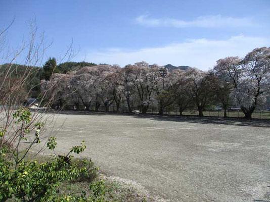 桜の花びらが一面に散っていた校庭