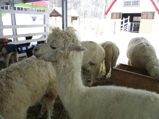「四季彩の森」の施設ではアルパカ牧場というのがありました アルパカのセーターを持っていてとても温かいので、ホンモノはどんな具合なのだろうと興味を抱き見に行きました 実際に身体に触れると手のひらが埋まるほどの毛並みで、それが羊などとはまるで違いまさに羽毛のような柔らかさ! 驚きました