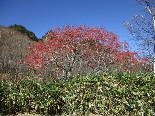 """登山口にあった""""満開""""のマユミの木 赤く見えるのは花ではなく実です"""