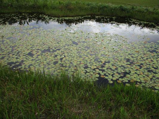 水面に空を映しながらヒツジグサの葉が文様をえがきます