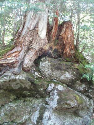 火山の様子が伺い知れる、岩を囲い込んでいる大木 至るところにあります