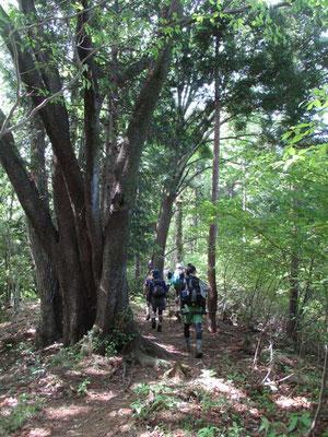 まず始めの急登を越えると緑溢れる稜線歩きを楽しめます
