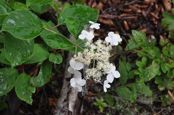 白い花が可憐なヤマアジサイ