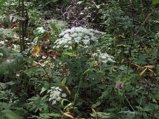 オオカサモチ この手の花の種類は多く名称の特定にいつも悩みます
