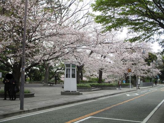 白い公衆電話ボックスと桜の山手通り
