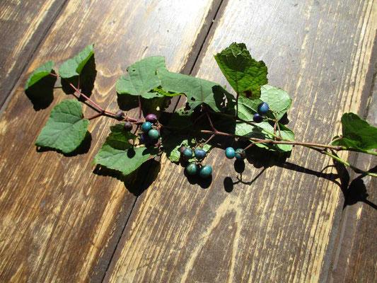美しいノブドウの実 いつも展示のアクセントにいろいろな季節の植物が飾られています