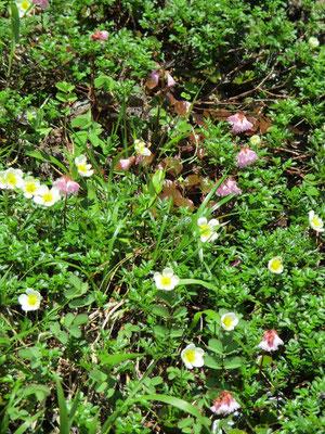 可憐に咲くチングルマとイワカガミ