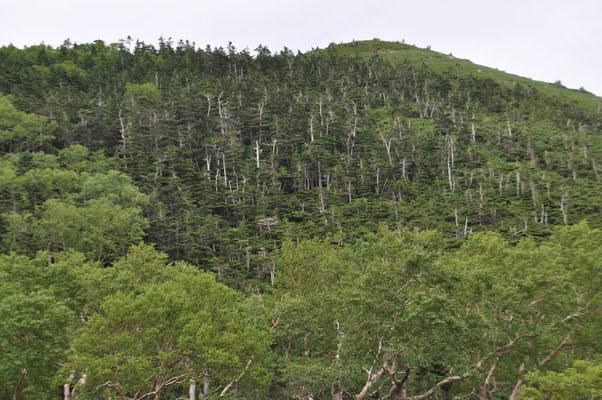 何故こんな風に幹が目立って見えるのか? 八ヶ岳の縞枯れのことを思い出します