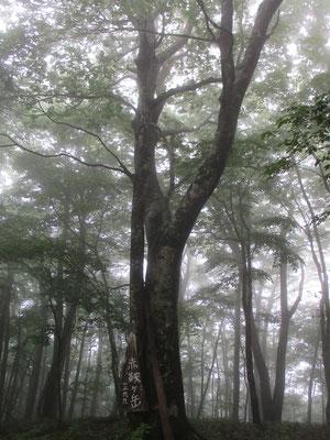 秋山峠から5分ほど行くと赤鞍ヶ岳の山頂 どなたの作か、立派な手作りの味のある山頂標識が大きなブナに上手いこと添えられていた