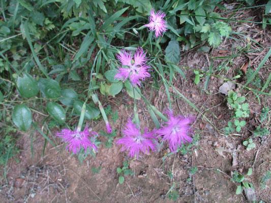 カワラナデシコ きれいに咲いていた