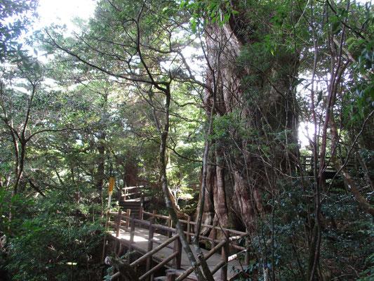 紀元杉を巡る