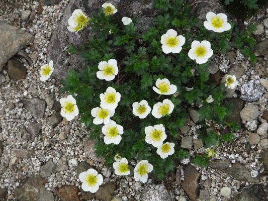 咲き乱れるチングルマ