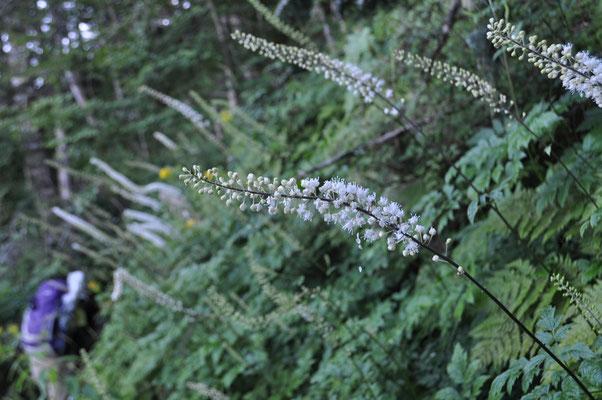 登りが続く中、美しい花たちに元気づけられます サラシナショウマ
