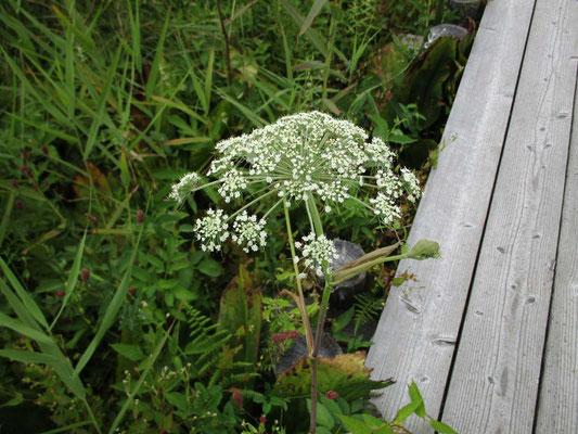 ミヤマセンキュウでしょうか レースのような花がきれいですが、見分け方が難しいです