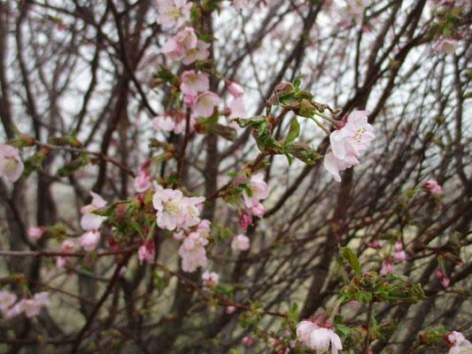 この木の花はピンク色が濃くてかわいい