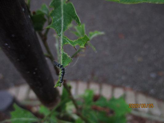 何の幼虫か?