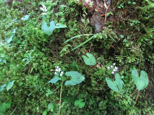 苔のなかでマイヅルソウが白い花をつけていました