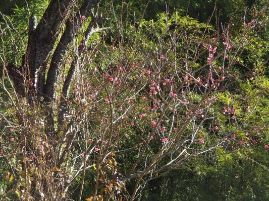 庭先の紅梅がほころび始めています