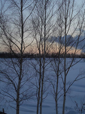 夕暮れ時の木立と雪原 風もなく静かで美しいひととき