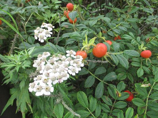 エゾノコギリソウの花とハマナスの赤い実
