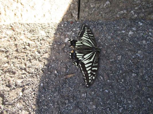 道にのびているアゲハチョウ