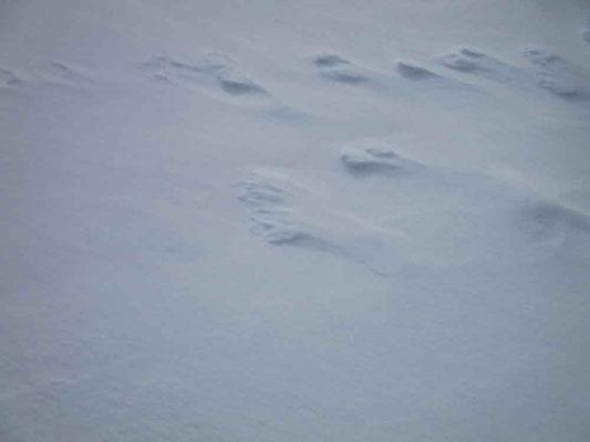 これはとても珍しい足の毛足まで残っている野うさぎの足跡