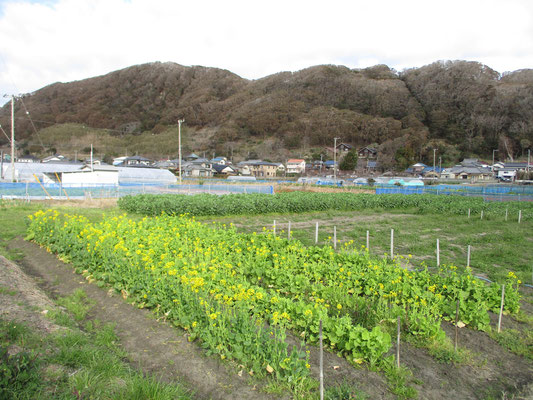 登山口に向かう途中から城山を見る 畑も整備され菜の花が咲いている
