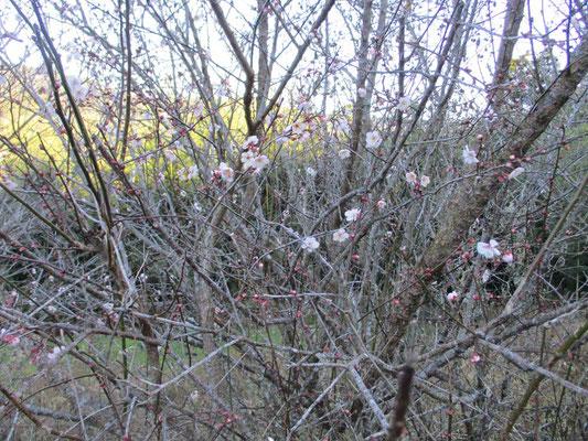 梅のほころび 下山時にはもっと咲いていました