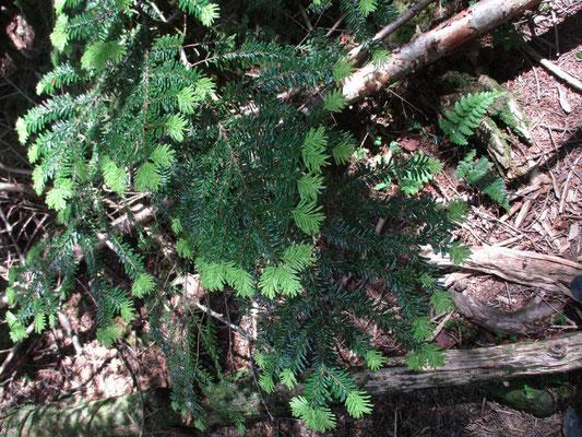 針葉樹の葉先が新しい葉っぱの赤ちゃんで新緑の若い緑です 森の色合いも明るいカンジになっているのかも…と思いました