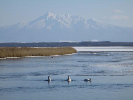 北浜駅からの帰りに立ち寄った濤沸湖 白鳥と斜里岳
