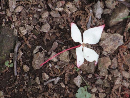 ピンクにほんのり染まったヤマボウシの落花