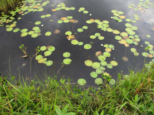 水面の葉は一枚一枚、水底から細い紐のような茎につながっているのが分かります