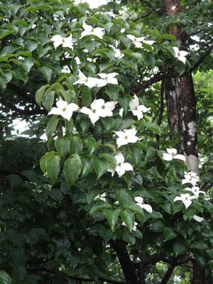 花が少ないなか、ヤマボウシの白い花が目を引く