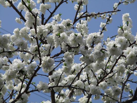 これは白い桃の花?