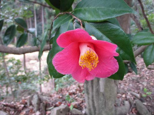 一緒にヤブツバキも咲いて、ミツマタと共演です