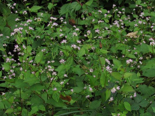 ママコノシリヌグイ 花の可憐さを見れば「なんとも…」という名ですが、ちょっとでも触れてみると思わず手を引いてしまう細かなトゲに、ナットク・・・