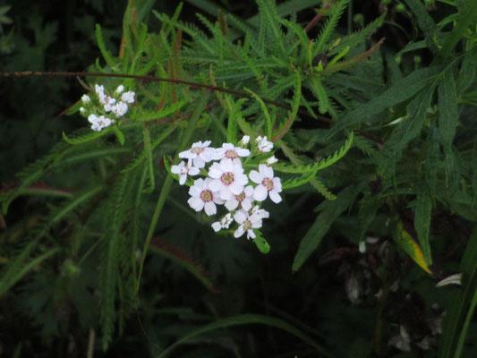エゾノコギリソウのピンクっぽい花