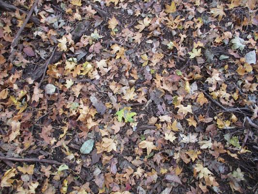 一面の落ち葉2