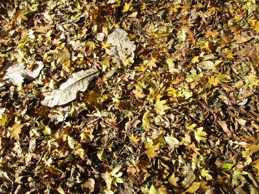 斜光で輝く落ち葉