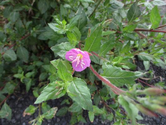 庭にごつい雰囲気で葉を広げる雑草と思い目の敵に抜いていたもの こんなきれいな花を咲かせるとは!
