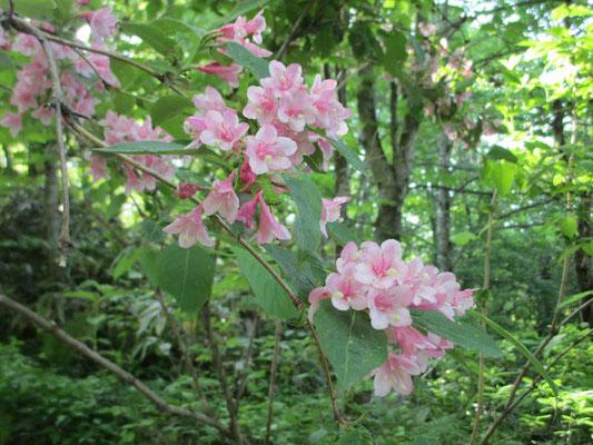 今が花盛りのタニウツギ