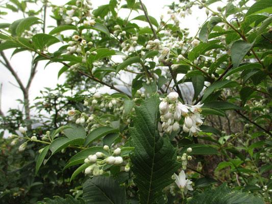 霧のなかでウツギの花の白さが鮮やか