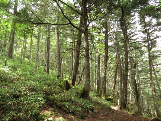 美しい針葉樹林帯の登りが続く