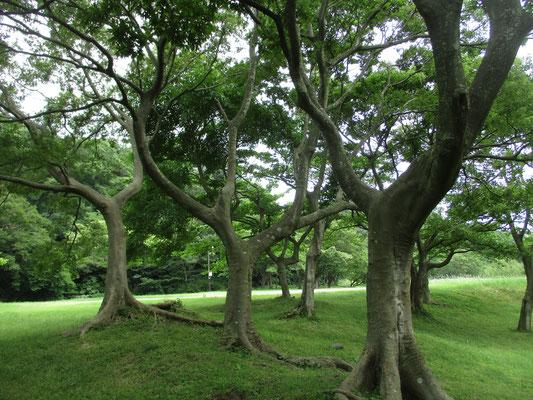 ゾウの肌のような樹皮のエノキが並ぶ ほんとうにゾウの行進のように見える