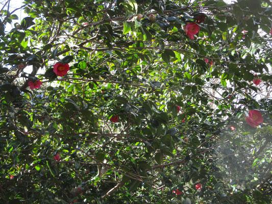 ヤブツバキが咲いてきれいでした ツバキは沢山の栽培種がありますが、この山中のヤブツバキが一番好きです