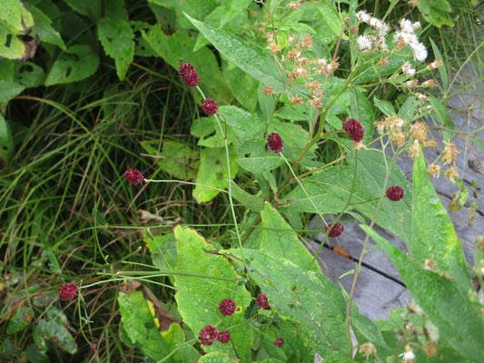 これも秋の花 ワレモコウ