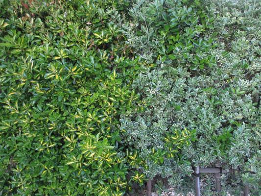 これも散歩コースの生け垣だが、同じ品種の木のようなのに、様々な色合いの葉のコンビネーション